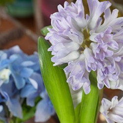 hyacinth_hydrangea_bloom_college