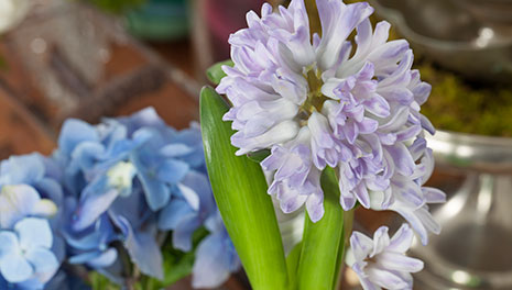 hyacinth_hydrangea_bloom_college