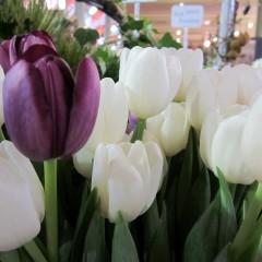 Bloom College tulips