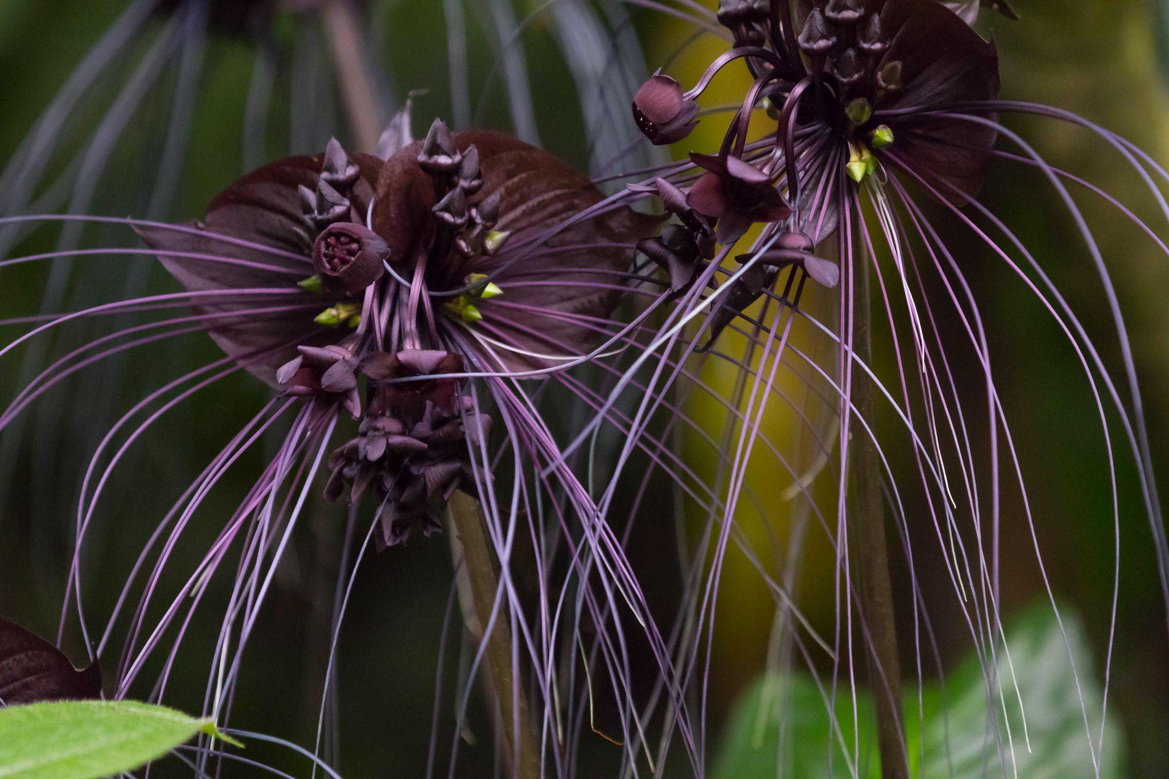Bloom Spotlight Black Bat Flower Bloom College
